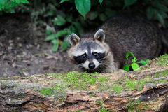 Raccoon in the forest Royalty Free Stock Photography