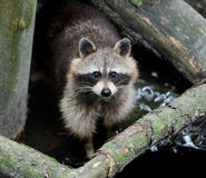 Raccoon in the forest Stock Photos