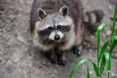 Raccoon in the forest Royalty Free Stock Photo