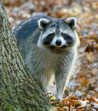 Raccoon in a Forest. North American common raccoon (Procyon lotor) looks at camera in a forest in the fall Stock Photo