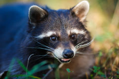 Raccoon in a forest Royalty Free Stock Photo