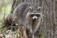 Raccoon in a Forest Royalty Free Stock Photography