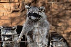 Raccoon Royalty Free Stock Photos