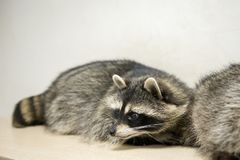 Raccoon. Funny raccoon looks at the frame Stock Photography