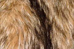 Raccoon Fur Background Stock Image