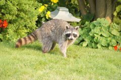 Raccoon by the Garden Stock Photos