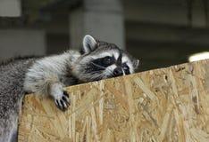 Raccoon gargle with gray fur sad Royalty Free Stock Photo