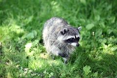 Raccoon in grass. Wild raccoon walking in green grass Stock Photography
