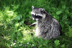 Raccoon in grass Royalty Free Stock Photo