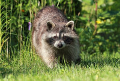 Raccoon in grass Stock Images