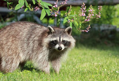 Raccoon in grass Royalty Free Stock Images