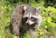 Raccoon in grass Stock Image