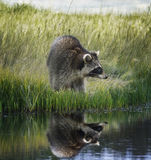 Raccoon  On Grassy Bank Stock Image