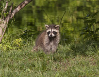 Raccoon with Green Background Royalty Free Stock Images