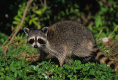 Raccoon in Green Vegetation. A raccooon walking across lush green vegetation Stock Photo