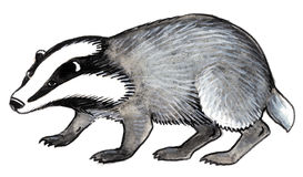 Raccoon grigio Fotografie Stock Libere da Diritti