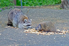 Raccoon and Groundhog. Sharing a meal stock photo