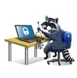 Raccoon hacker sitting at laptop Stock Photos