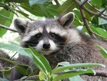 Raccoon. Half hidden in a tree stock photography