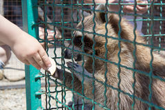 Raccoon from hand to feed Royalty Free Stock Image
