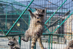 Raccoon hanging on cage in zoo Stock Image