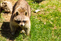 Raccoon. Royalty Free Stock Photography