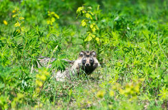The raccoon has hidden to grass. Royalty Free Stock Photo
