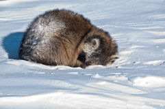 A sleeping raccoon on the snow Stock Photo