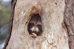 Raccoon with head sticking out of a hole in a tree Royalty Free Stock Image