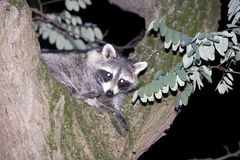 Raccoon hiding in a tree Royalty Free Stock Photo