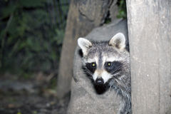 Raccoon hiding in a tree Stock Photo
