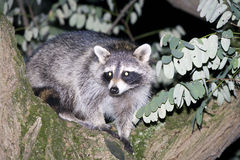 Raccoon hiding in a tree Stock Image