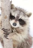 Raccoon and tree Royalty Free Stock Photo
