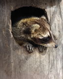 Raccoon in a hollow tree Royalty Free Stock Photo