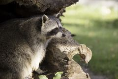 Raccoon in hollow tree trunk Royalty Free Stock Images