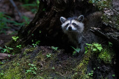 Raccoon house Royalty Free Stock Image