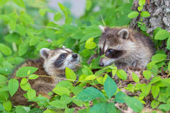 Raccoon. I came across two raccoon babies while driving country roads Stock Photography