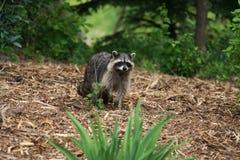 Raccoon in iarda immagini stock libere da diritti