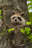 Raccoon III Stock Images