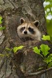 Raccoon III Immagini Stock