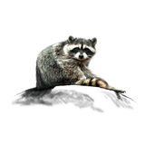 Raccoon image on the stone Stock Images