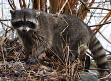 Raccoon In The Bushes Stock Photo