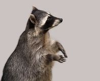 The raccoon isolated on grey. Background Royalty Free Stock Images