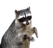 The raccoon isolated on white. In the zoo Stock Photography