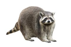 Raccoon. Isolated on white background Stock Photography