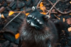 Raccoon is on its hind legs in a park in Kaliningrad royalty free stock photos