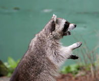 Raccoon largely on the hinder legs. Asking meal stock photo
