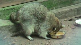 Raccoon licks a plate stock footage