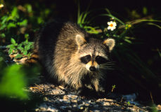 Raccoon on Log Royalty Free Stock Photo