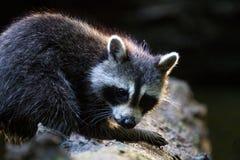 Raccoon log Royalty Free Stock Photo